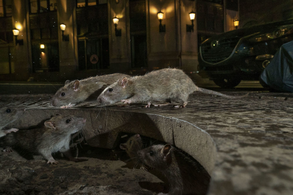 Снимок The rat pack британского фотографа Charlie Hamilton James, победивший в категории Urban Wildlife фотоконкурса 2019 Wildlife Photographer of the Year